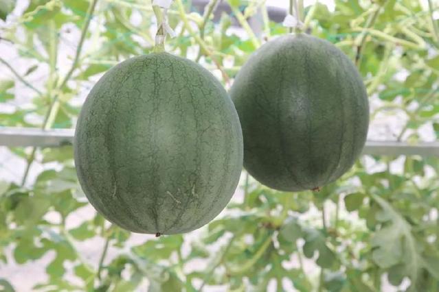 黑晶西瓜价格多少钱一斤