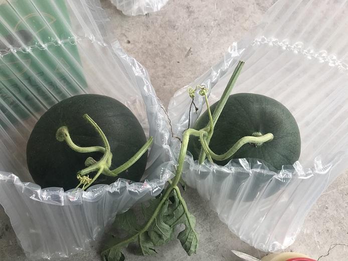 网红西瓜新品种黑津