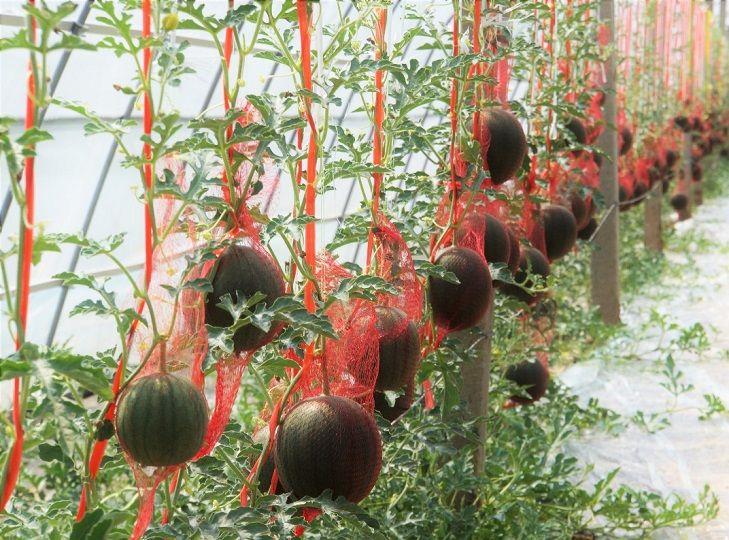 上海市农科院园艺所在崇明开展网红西瓜新品种'黑津'现场观摩品鉴会
